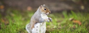 squirrell